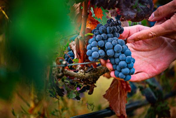 Foto uvas tempranillo